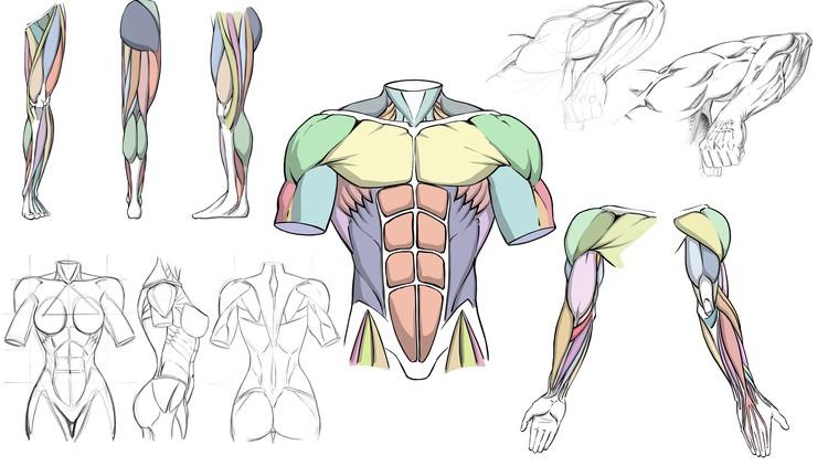 How to Draw Dynamic Anatomy – Step by Step